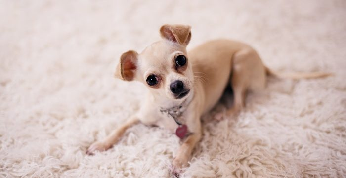 Best Food For Chihuahua Puppy